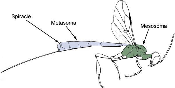 Gasteruptiid wasp with mesosoma and metasoma highlighted.