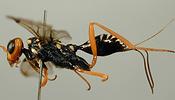 Aulacidae