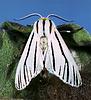 Clio moth