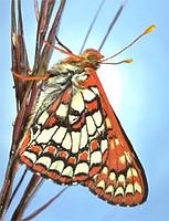 Chalcedona checkerspot butterfly