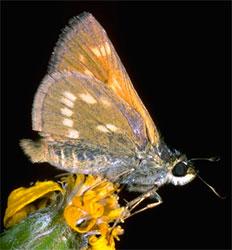 Sonora skipper butterfly