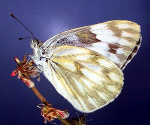 Western checkered white butterfly