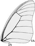 Papilionidae forewing