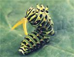 Papilionidae osmeterium