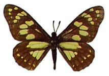 Baronia brevicornis