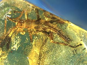 A nymph of Pseudoperla lineata fossilized in Baltic amber
