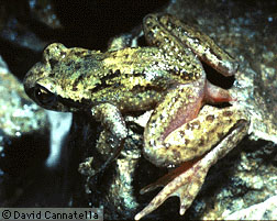 habitus of the tailed frog