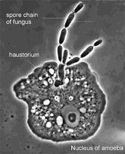 The parasite Amoebophilus simplex and its amoeba host