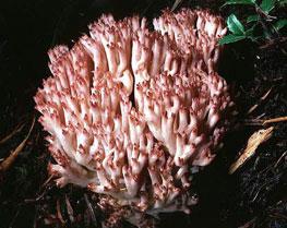 Ramaria botrytis, a coralloid form