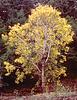 Bigleaf maple, Acer macrophyllum
