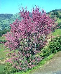 California redbud, Cercis occidentalis