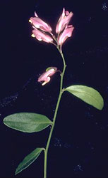 California milkwort, Polygala californica