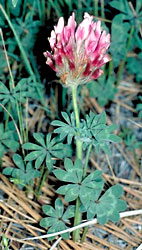 Big-headed clover, Trifolium macrocephalum