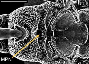 Dorsal view of scutellum of Aulacus douglasi female, from Western Australia