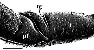 Lateral view of hind trochanter, prefemur, and femur of Aulacus douglasi female, from Western Australia