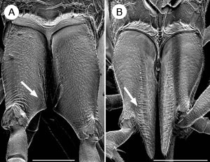 Dorsal view of hind coxae with ovipositor guides (arrows) of (left) Aulacus coracinus and (right) Aulacus emineo, both female and from New Caledonia