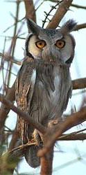 White-faced Owl, Ptilopsis leucotis