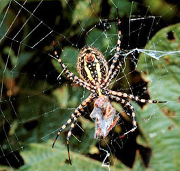 Banded Argiope