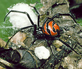 South American widow spider