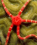 Ruby brittle star on brain coral