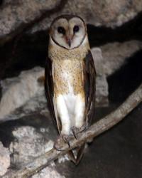 Tytonidae - photo#27