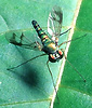 A long-legged fly