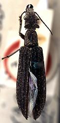 Tetraphalerus wagneri