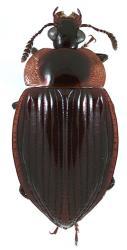 Zeanecrophilus thayerae habitus