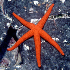 Echinodermata Click on an image to view