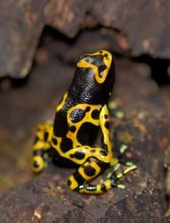 Poison Dart frogs Dend...