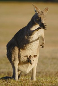 an overview of the popular australian mammal the kangaroo The grey kangaroo, sometimes known as the great grey, is one of the best-known of all kangaroo species, along with the similar-sized red kangaroo.