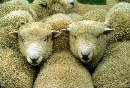 mouflon  feral sheep