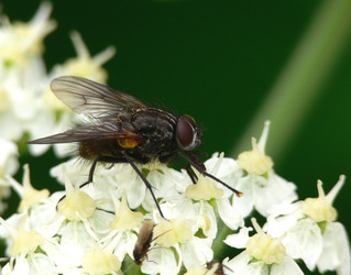 Musca domestica, house fly