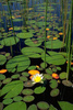 Nymphaea water lilies