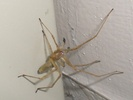 Yellow Sac Spider
