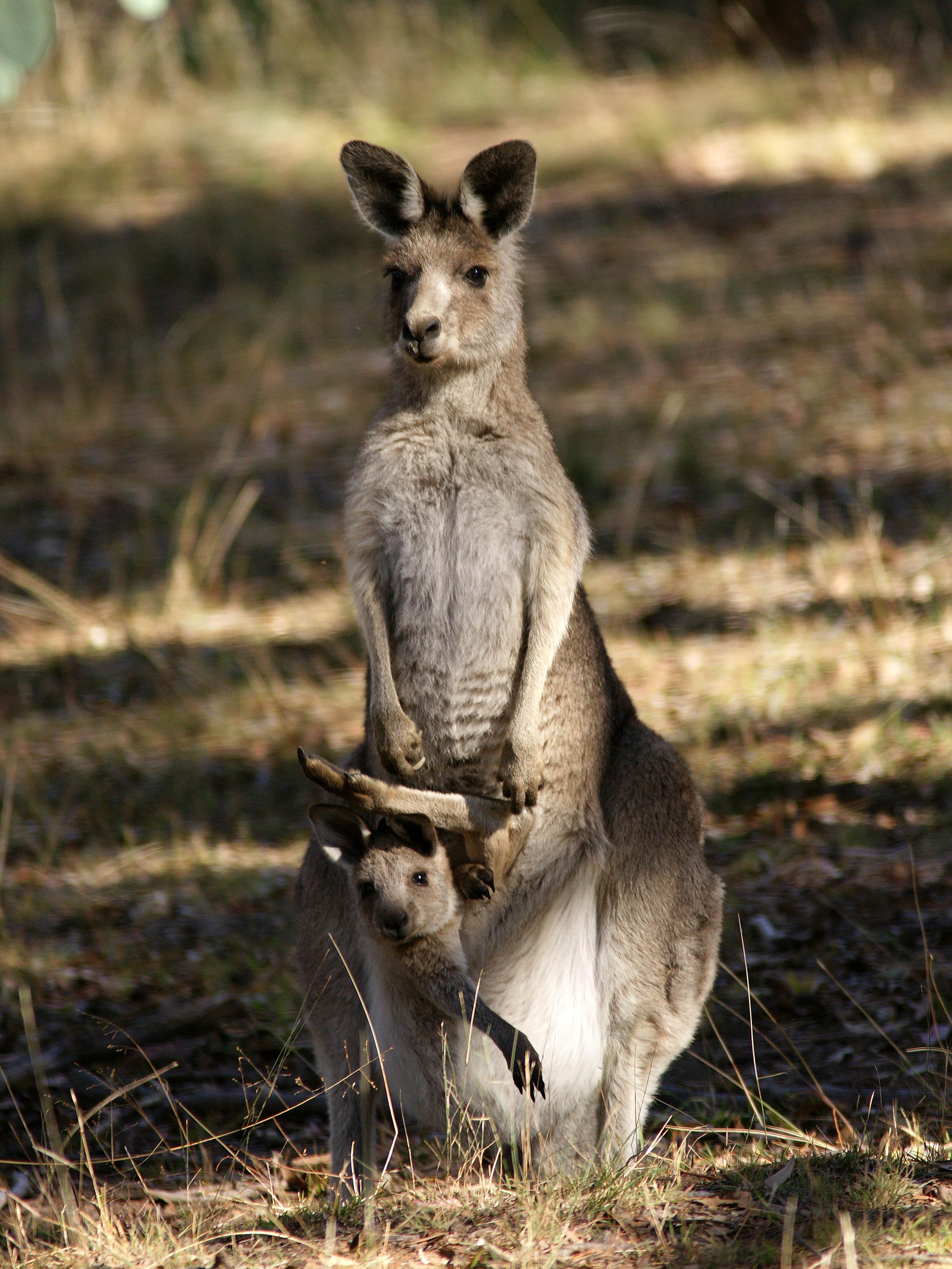 Сколько у кенгуру вагин 4 фотография