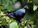 Признаки: Размеры взрослой птицы 26 см. В лесах Мадагаскара нередко...