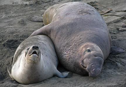 elephant seal mating