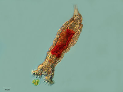 Bdelloid rotifers asexual reproduction budding