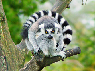 Ring-Tailed Lemur - Lemur Facts and Information