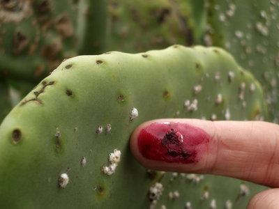 Cochineal scale insects on Opuntia