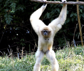 Buff-colored gibbon in...