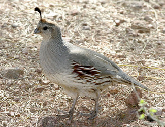Male  left  and female  right   Quail Bird Male