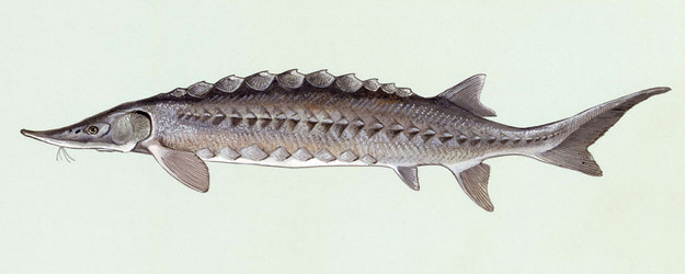 Atlantic Sturgeon