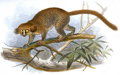 drawing of a hairy-eared dwarf lemur