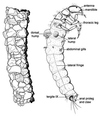 drawing of a caddis fly larva