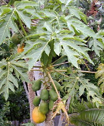 Papaya tree, Carica papaya