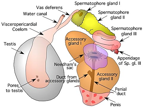 Cirrate Male Reproductive Tract