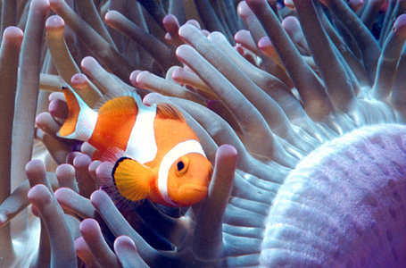 Clownfish Biology