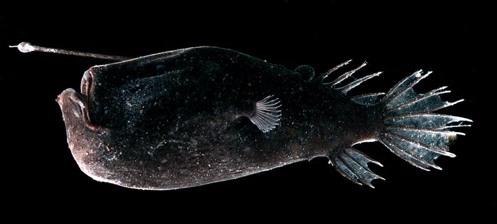 Acanthomorpha